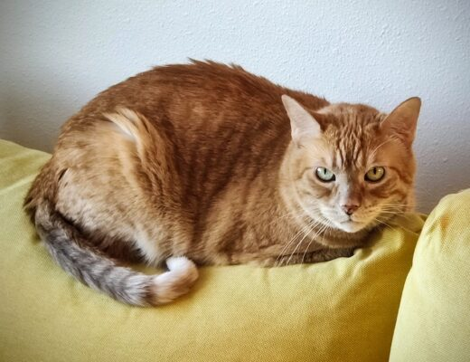 The assistant grammar cat. A beautiful ginger girl.
